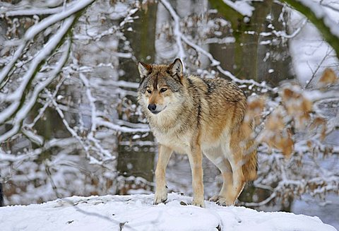 Mackenzie Valley Wolf or Canadian Timber Wolf (Canis lupus occidentalis) in snow