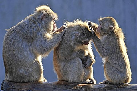 Japanese Macaques (Macaca fuscata) grooming each other - 832-14412