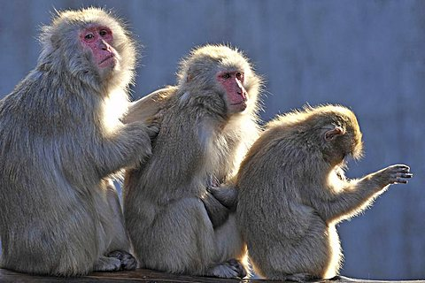 Japanese Macaques (Macaca fuscata) grooming each other - 832-14413