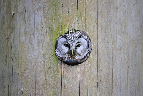 Boreal Owl or Tengmalm's Owl (Aegolius funereus), looking out of nest cave