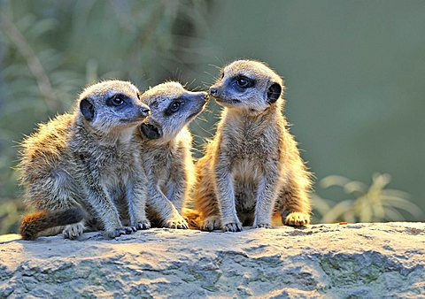 Meerkats (Suricata Suricatta), three young animals