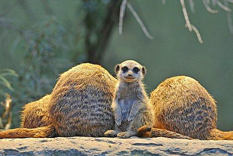 Meerkats (Suricata Suricatta), family, young animal