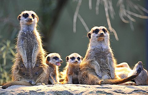 Meerkats (Suricata Suricatta), family, two young animals