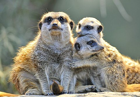 Meerkats (Suricata suricatta), parent and two young, embrace