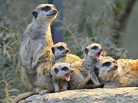 Meerkats or Suricates (Suricata Suricatta), juveniles