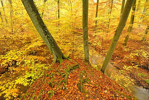 Stream in a beech forest in autumn in Nonnenfliess Nature Reserve near Eberswalde, Brandenburg, Germany, Europe