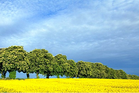 Chestnut tree avenue, canola field, Schleswig-Holstein, Germany, Europe