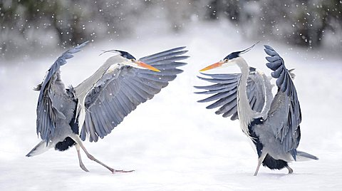 Fighting Grey Herons (Ardea cinerea) in winter