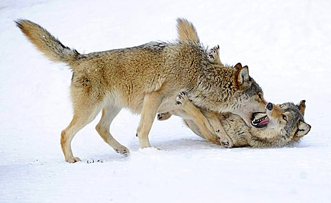 Fighting, playing wolves, cub, Mackenzie Wolf, Alaskan Tundra Wolf or Canadian Timber Wolf (Canis lupus occidentalis) in the snow