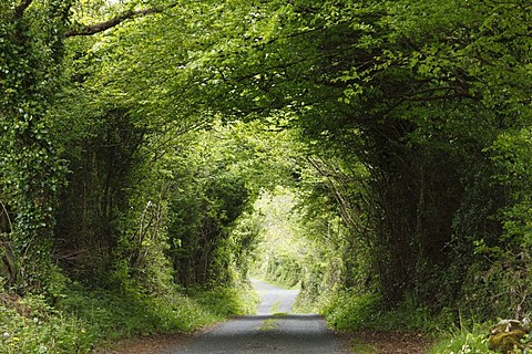 Small road through forest, Burren, County Clare, Ireland, Europe
