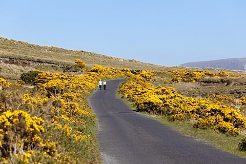 Country road and flowering gorse near Dooega, Achill Island, County Mayo, Connacht province, Republic of Ireland, Europe
