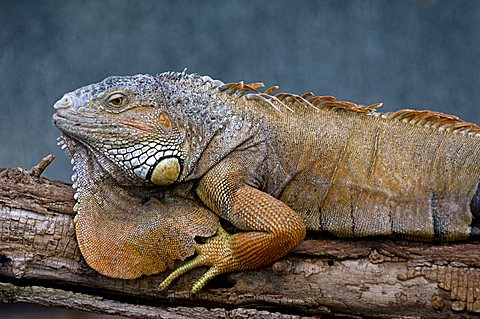 green iguana, Iguana iguana, old male