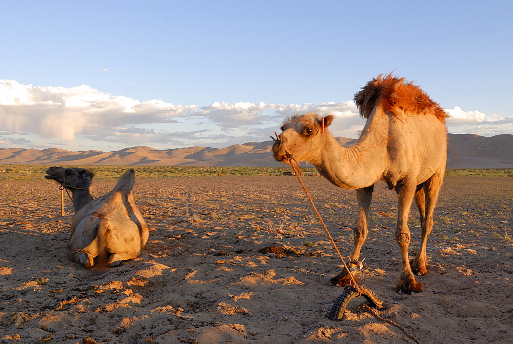 Two camels in the evening light in front of the great sand dunes of Khorgoryn Els in the Gobi Desert, Gurvan Saikhan National Park, Oemnoegov Aimak, Mongolia, Asia