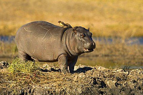 Hippo (Hippopotamus amphibius), young animal, Chobe National Park, Botswana, Africa
