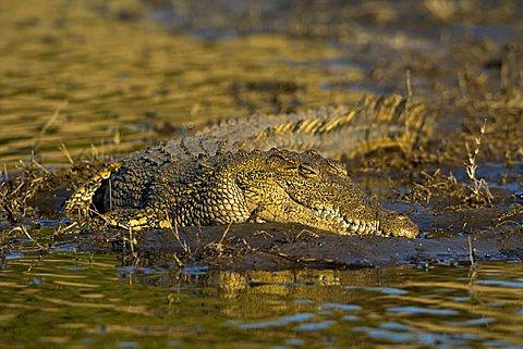 Nile Crocodile (Crocodylus niloticus) on the banks of Chobe River, Chobe National Park, Botswana, Africa