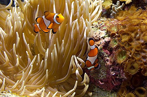 Anemone fish, Amphiprion ocellaris, with eggs ane anemone