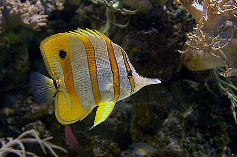 Butterflyfish, Chelmon rostratus