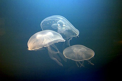 Jelly fish, Aurelia aurita