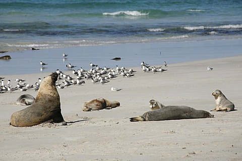 Australian sea lions (Neophoca cinerea) in Seal Bay, Kangaroo-Island, South Australia, Australia