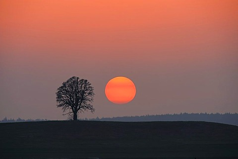 Sunset with tree, Mindelheim, Unterallgaeu, Bavaria, Germany, Europe