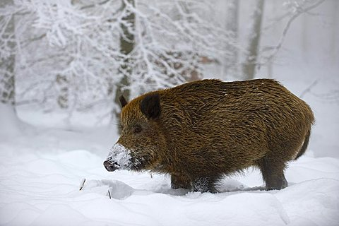 Wild Boar (Sus scrofa) in snow-covered forest, Swabian Alb, Baden-Wuerttemberg, Germany, Europe