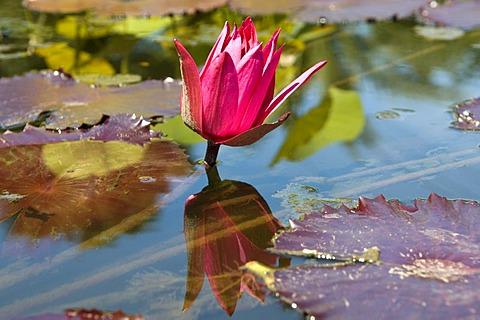 Pond with water lily (Nymphaea), reflection, Westfalenpark, Dortmund, Ruhrgebiet region, North Rhine-Westphalia, Germany, Europe