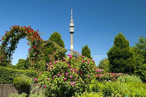 TV Tower, so-called Florian, roses in bloom, rose garden, Westfalenpark, Dortmund, Ruhrgebiet region, North Rhine-Westphalia, Germany, Europe