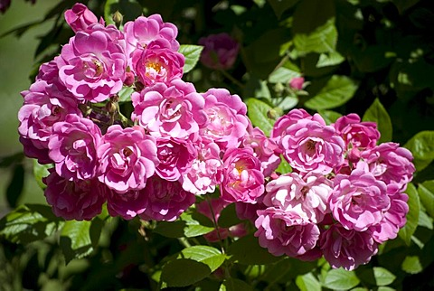 Pink roses, climbing roses, rose garden, Westfalenpark, Dortmund, Ruhrgebiet region, North Rhine-Westphalia, Germany, Europe