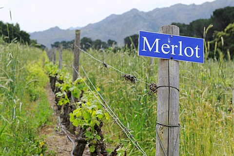 Merlot grapevines, Rickety Bridge, Franschhoek, Western Cape Province, South Africa, Africa