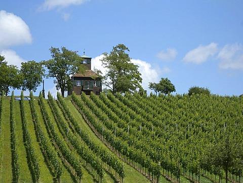 Vineyard, Reichenau island, Lake Constance, Baden-Wuerttemberg, Germany, Europe