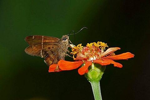 Teleus Longtail (Urbanus teleus), Rincón, Osa, Puntarenas, Costa Rica, Central America