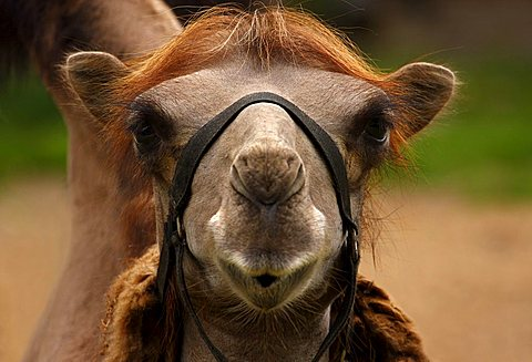 Dromedary Camel (Camelus dromedarius), zoo, Braunschweig, Lower Saxony, Germany, Europe - 832-15962
