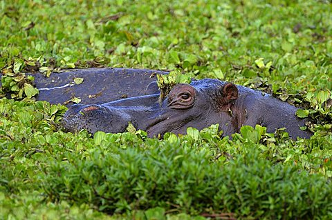 Hippopotamus (Hippopotamus amphibius), Masia Mara, national park, Kenya, East Africa