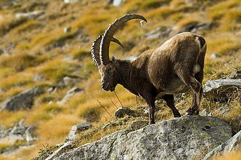 Ibex (Capra ibex)