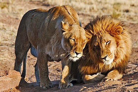 Two lions (Panthera leo) in the morning sun, Africat Foundation, Namibia, Africa