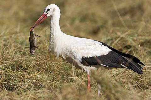 White storch with mouse in its bill, Germany