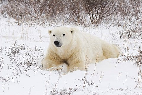 Polar Bear (Ursus maritimus) laying on its stomach in the snow, Churchill, Manitoba, Canada