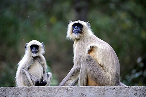 Gray Langurs or Hanuman Langurs (Semnopithecus), Ranthambore National Park, Rajasthan, North India, India, South Asia, Asia