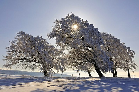 European Beech or Common Beech (Fagus sylvatica), distorted by wind and snow and frost, Schauinsland Mountain, Black Forest, Breisgau-Hochschwarzwald, Baden-Wuerttemberg, Germany, Europe