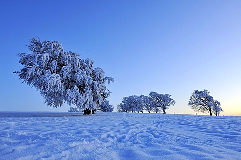 European Beech or Common Beech (Fagus sylvatica), distorted by wind and snow and frost, shortly after sunset, Schauinsland Mountain, Black Forest, Breisgau-Hochschwarzwald, Baden-Wuerttemberg, Germany, Europe
