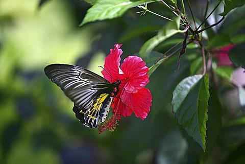 Butterfly perched on a flower, Somatheeram Ayurveda Resort, traditional Ayurvedic medicine spa resort, Trivandrum, Kerala, India, Asia