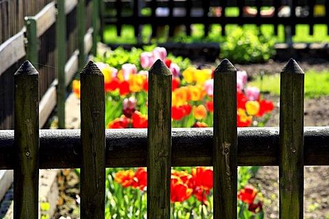 Wooden picket fence around tulip garden, Bavaria, Germany, Europe
