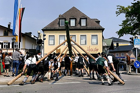 Maypole being raised, Prien, Chiemgau, Upper Bavaria, Germany, Europe