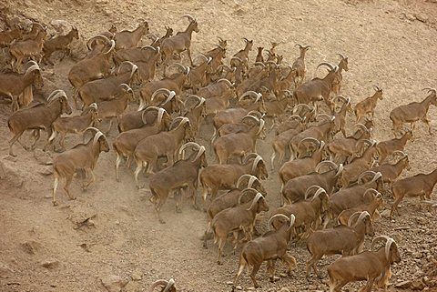 Barbary sheep, (Ammotragus lervia), Sir Bani Yas Island, private game reserve in the Persian Gulf with over 10000 steppe animals, near Abu Dhabi, United Arab Emirates|