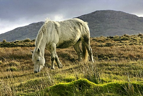 Connemara pony, Inagh Valley, County Galway, Republic of Ireland, Europe