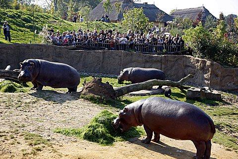 Hippopotami (Hippopotamus amphibius) in the outdoor enclosure of the ZOOM Erlebniswelt leisure park, Africa region, Gelsenkirchen, North Rhine-Westphalia, Germany, Europe
