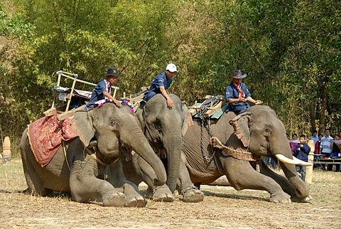 Elephants kneeling, Mahouts on top, Elephant Festival, Ban Viengkeo, Hongsa, Xaignabouri Province, Sayaburi, Xayaburi or Sainyabuli, Laos, Southeast Asia, Asia