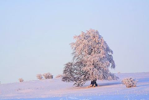 Wintry solitary beech (Fagus sylvatica), covered with hoarfrost on the Knoten mountain, 605 m above sea level, Hoher Westerwald, Hesse, Germany, Europe