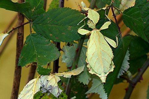 Walking - or Celebes Leaf Insect (Phyllium celebicum)