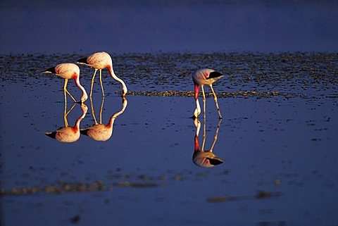 Flamingos (Phoenicopterus chilensis), Salar de Atacama, Chile, South America